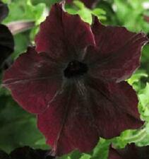 Petunia Seeds 15 Pelleted Sophistica Blackberry