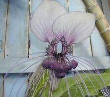 Hermosa planta: la fledermausblume-flores tan suave como las orquídeas