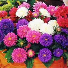 50 China Aster Seeds Callistephus Chinensis Ornamental Garden Flowers A012