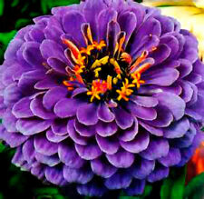 Hot Neon Purple Zinnia! 25 SEEDS! Gigantic flower heads! Comb.S/H SEE OUR STORE!