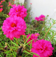 Pink Sun Plant Seed 200 Seeds Portulaca Grandiflora Heronsbill Flower Seeds A040