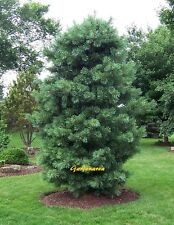 10 Graines Pinus Koraiensis ,  Korean Pine tree Fresh seeds