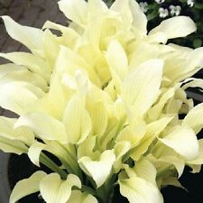 WHITE FEATHER HOSTA PLANT               Buy 5 and get a free 1 My Choice