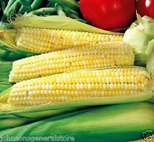 Ambrosia Hybrid Bicolor Sweet Corn Treated Seed 1 lb Plants Four 50' Rows