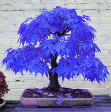 Bonsai Maple Potted Rare Tree Blue Seeds Beautiful  Plants 10Pcs