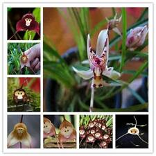 10 pcs Rare Monkey Face Orchid Flower Seeds Potted Plants for Home&Garden