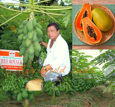 "Carica Papaya ""Red Royale"" DWARF Fruits harvested 7 months from planting!10seeds"