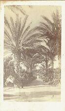 Photo cdv : Clavier ; Une allée bordée de palmiers à Alger , vers 1870