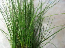 Eleocharis acicularis  Dwarf Hairgrass carpet aquarium plants