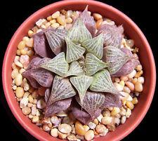 HAWORTHIA MIRABILIS BADIA exotic rare succulent bonsai cactus cacti aloe 5 seeds