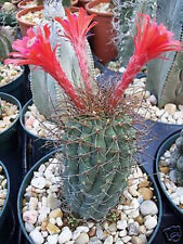 Matucana pujupatii, red flower exotic flowering cacti rare cactus seed 50 SEEDS