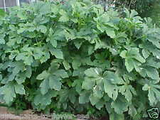 ORGANIC FULL SIZE LARGE OKRA PLANT  SEEDS   A FAVORITE!