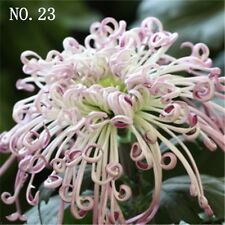 Chrysanthemum seed  countryard balcony decoration 30 seeds NO.23