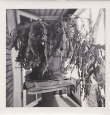 1950s Proud of CACTUS PLANT hanging  succulant  Vintage Photo w NEGATIVES
