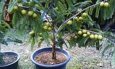 Indian Bonsai Gooseberry Seeds Phyllanth​us Emblica Good growing Seeds