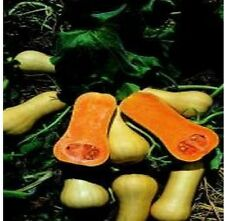 Economy Pack - Vegetable - Butternut Squash - Waltham - 8 Seed