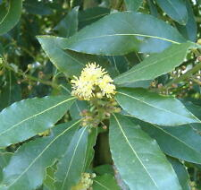 Huile Essentielle de LAURIER noble 10ml (laurus nobilis) pure 100% naturelle