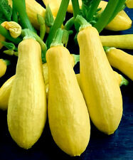 Squash Seeds, Early Prolific Straightneck, Summer Squash Seeds, Heirloom, 35ct