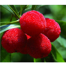 20pcs Sweet Red Bayberry Seeds Myrica Rubra Gale Fruit Seed Chinese Yangmei New