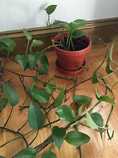 Organic Live California Green Heartleaf Philodendron Cuttings
