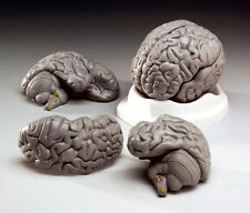 Life Size Human Brain Anatomical Model, NEW