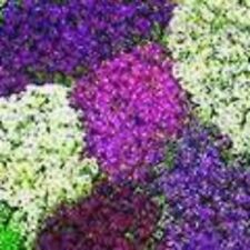 LILAC LACE SWEET FRAGRANT ALYSSUM FLOWER SEEDS / PERENNIAL