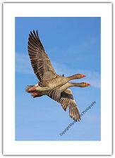 Tarjeta De Saludos Cumpleaños/en Blanco NOTELET-Geese pájaros volando par par de gemelos