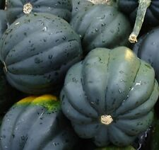 40+ Squash Seeds- Table Queen Acorn- Heirloom- Seeds     $1.69 Max Shipping