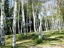 White Japanese birch Tree- 25 Seeds - 50 % off sale
