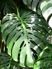 3 graines de FAUX PHILODENDRON (Monstera Deliciosa)H171 CERIMAN SEEDS SAMEN SEMI