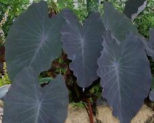 Colocasia plant Black Ruffles elephant ear NEW