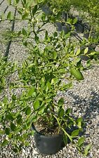 Pianta di Limone Caviale verde