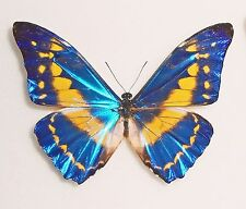 MORPHO CYPRIS LIMONENSIS*male Nr.2* COSTA RICA