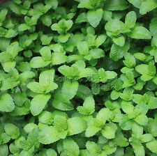 400 Mint Mentha Seeds Herb  Awesome Smell for any place in the house