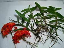 Orange Epidendrum Radicans ground orchid.  Five cut stems, some may have roots.