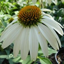 WHITE SWAN GIANT 40+ ECHINACEA/CONE-FLOWER FLOWER SEEDS