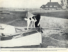 WIRE FOX TERRIER DOG AND BLACK CAT AT PLAY OLD DOG PRINT FROM 1934