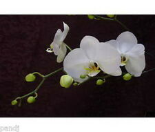 Phalaenopsis & Vandas 10 Orchid Note Cards w Envelopes