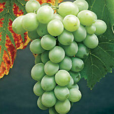 1 Himrod Grape Plant / Vine - White Seedless / 1-2 Year - Early Spring Shipping