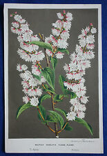 Genuine antique botanical print DEUTZIA CRENATA FLORE PLENO van Houtte c.1860