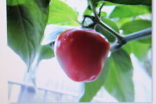 5 Seeds Tree chilli, red,perennial,#280