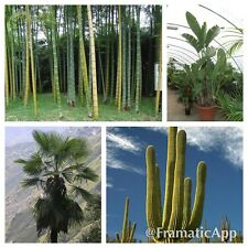 GIANT Tropical Plant Seed Collection - Palm Cactus Bamboo Strelitzia - MEGA PACK
