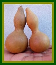 *UNCLE CHAN* 10 SEED MINI TRIBAL BOTTLE GOURD LAGENARIA SICERARIA CUTE NATURE