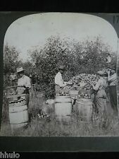 STA185 Tri Cueillette Pommes Picking apples Photo Keystone 1900 STEREO-View