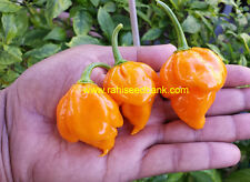 Trinidad Scorpion Yellow Chilli Pepper : One of the Hottest in the World