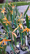 Orchid Bpl. Golden Peacock Orange Beauty 10 plant pack Exotic Tropical Plant