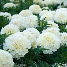 Rare Giant F1 Hybrid African marigold White Colour flower - 20 Organic seeds