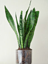 Live Snake Plant Air Purifier Plant indoor plant