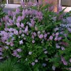 Syringa Miss Kim Dwarf Lilac Fragrant Shrub