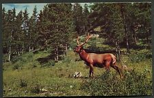 C1960's View of a Elk in a North American Forest
